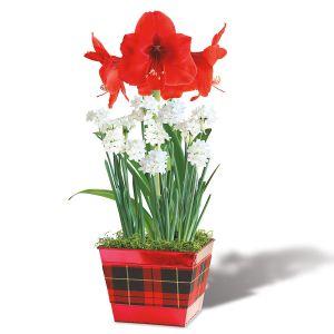 Amaryllis Red Lion & Paperwhite Bulb Garden